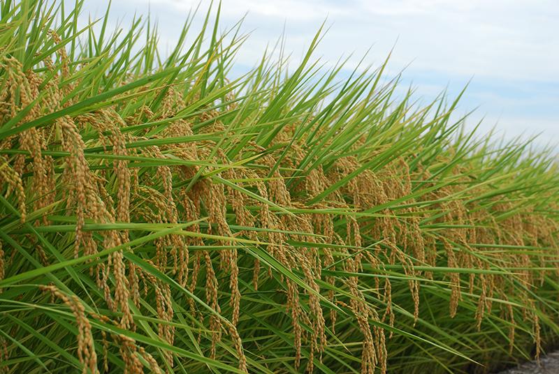 「稻米的簡介」的圖片搜尋結果