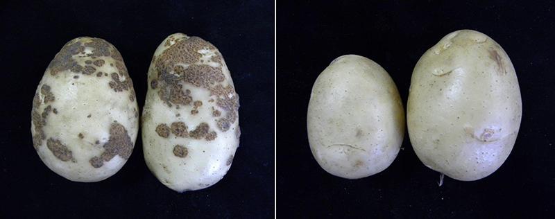 馬鈴薯瘡痂病的救星:枯草桿菌LNP-1新型微生物製劑
