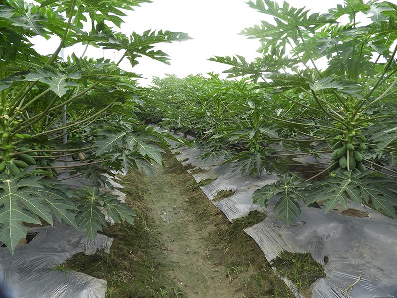 農試所開發木瓜農藥減量管理技術,增進農民跟消費者健康!
