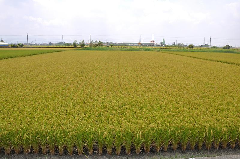 水稻新品種台農81號:友善耕作的最佳選擇
