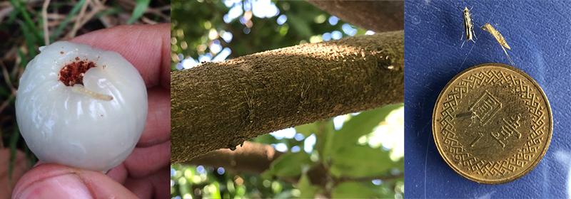 圖2、荔枝細蛾約如蚊子大小又具有保護色,是荔枝產業的頭號公敵