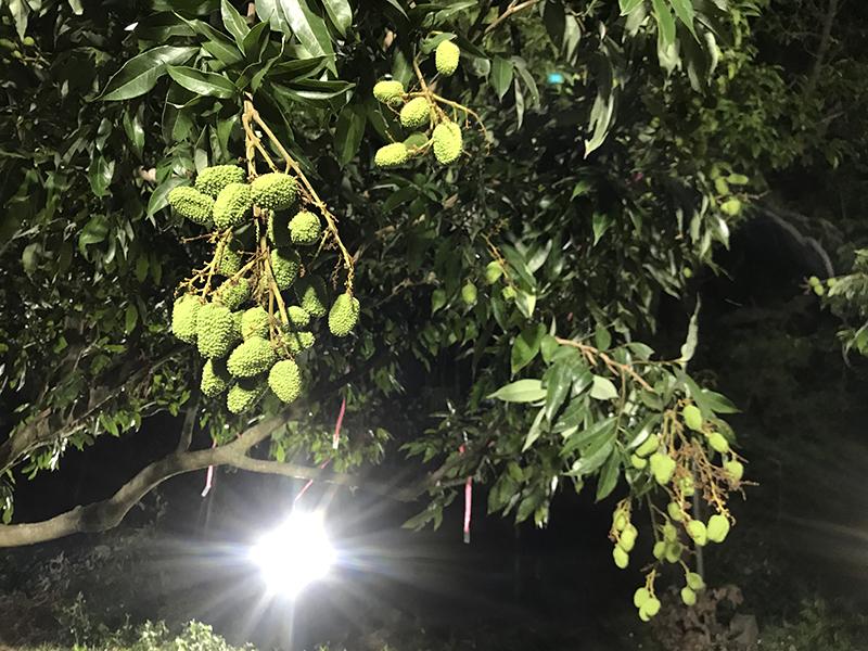 圖3、鳳山分所使用夜間燈照,已長達30天未用藥,仍有良好的荔枝細蛾防治效果