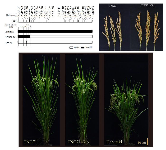 Plant, panicle type, and genotype of novel line TNG71-Gn1