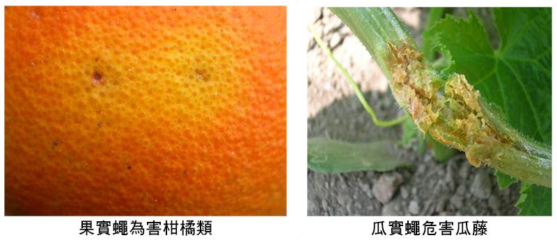 (左圖)果實蠅為害柑橘類(右圖)瓜實蠅危害瓜藤
