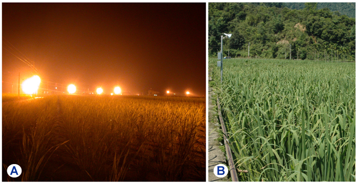 Night lighting in a field of Manchurian wild rice to extend the winter lighting period (>14 hr/day) (A) for maintaining normal plant growth (B) and producing large edible stem basal stem galls or Jiaobai Shun of high commercial value.