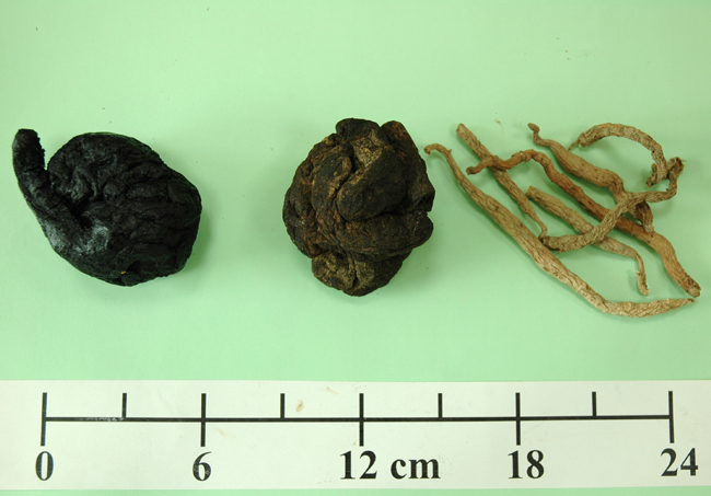 Figure 3: The marketed cured DiHuang (left) and raw DiHuang (middle) are processed roots of DiHuang kneaded into balls. On the right is Taiwan-grown dried DiHuang.