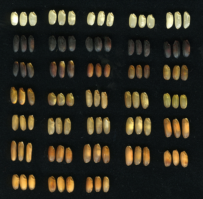 Diversified color of rice seed coat