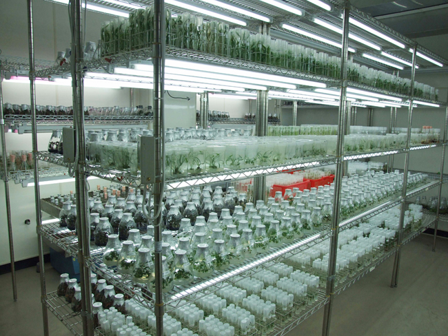 Tissue culture conservation of vegetatively -propagated crops